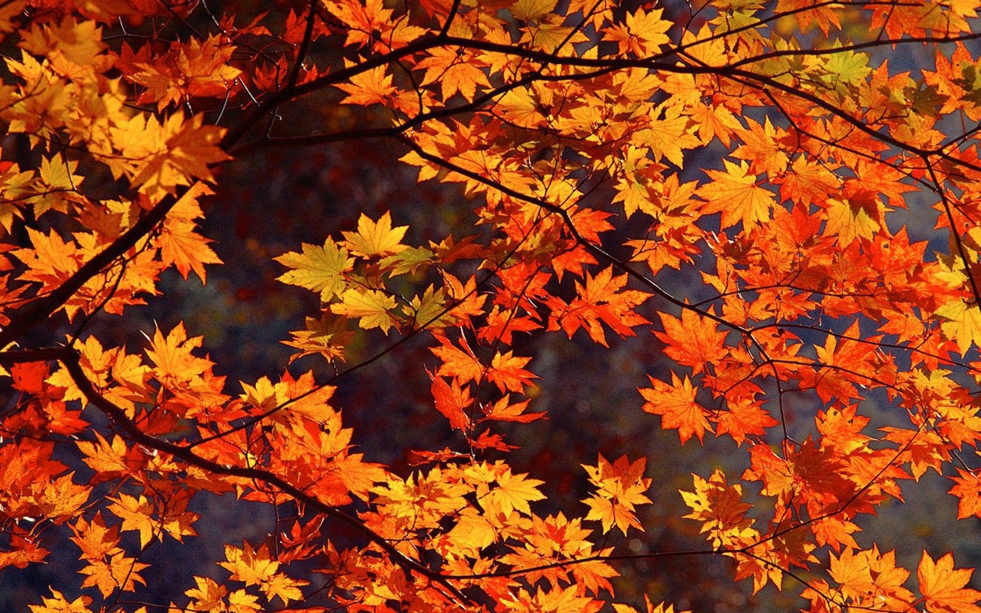 Japan Autumn Wallpaper Free Fall Wallpaper Fall Wallpaper Autumn Leaves Wallpaper