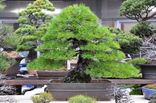 Japanese Black Pine Tree 10 Seeds Indoor Bonsai Tree Japanese Black Pine Tree Black Pine Tree
