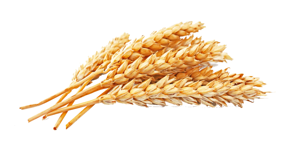 Free Download Gold Wheat Transparent Background Wheat File About 7 26 Mb And Resolution 4147x2118 Wheat Food Obsession Gluten Intolerance