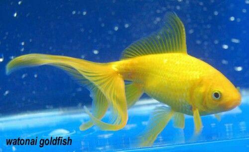 Yellow Watonai Wakin Ryukin Cross Goldfish Koi Fish Fish