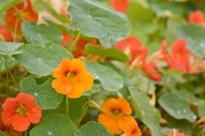 USDA Gardening Zone 7 | Gardening zones, Nasturtium ...