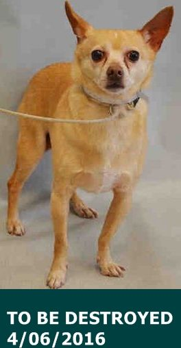 SAFE 4-6-2016 by Pound Hounds Res-Q --- SUPER URGENT Manhattan Center LEO – A1069089  NEUTERED MALE, TAN / WHITE, CHIHUAHUA SH MIX, 9 yrs OWNER SUR – ONHOLDHERE, HOLD FOR ID Reason MOVE2PRIVA Intake condition EXAM REQ Intake Date 04/01/2016 http://nycdogs.urgentpodr.org/leo-a1069089/