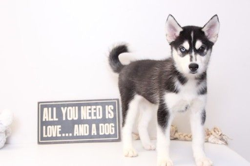 Siberian Husky Puppy For Sale In Naples Fl Adn 31180 On