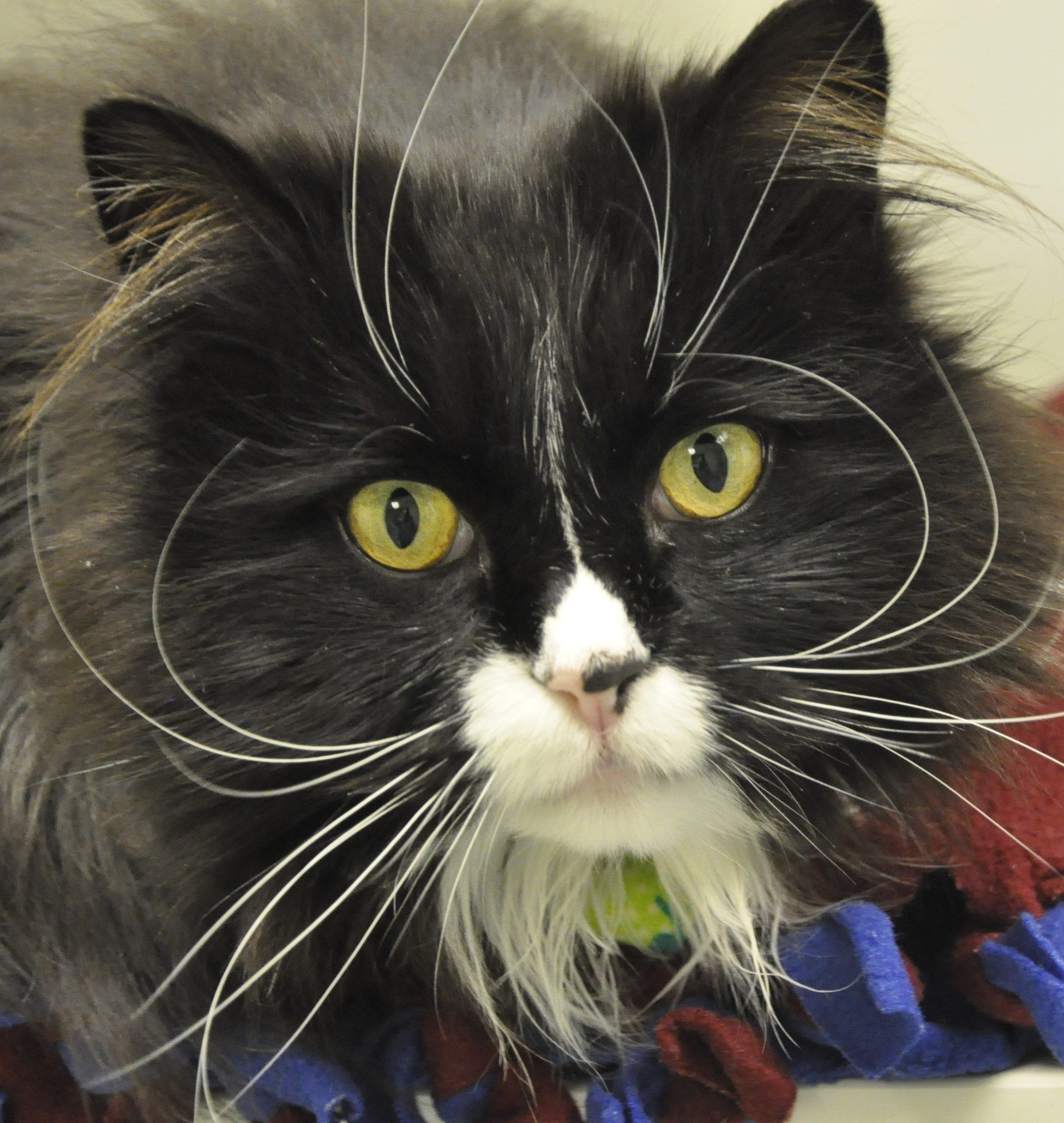 Fluffy and handsome, I'm Bruno a two year old tuxedo boy