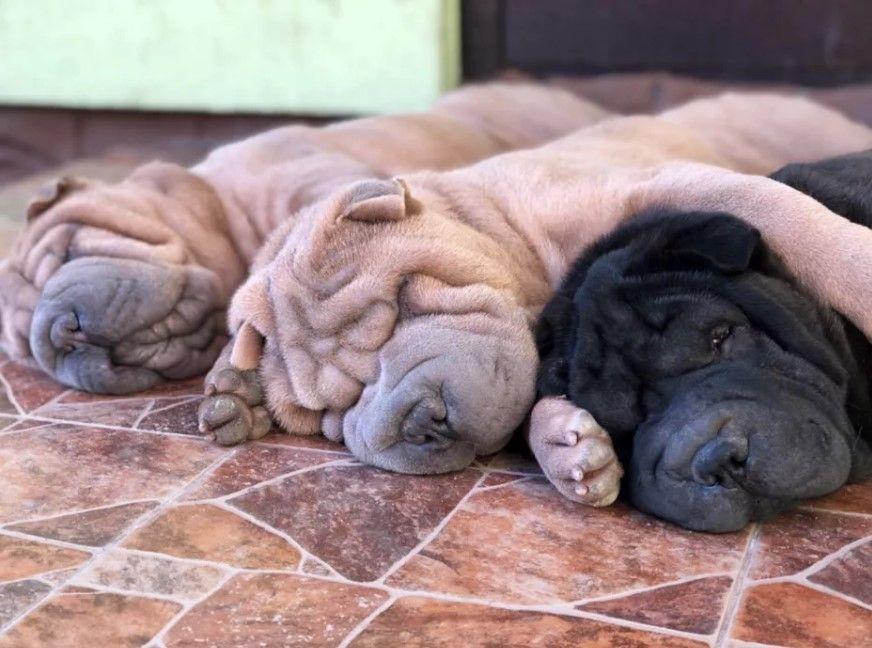 10 Best Shar Pei Dog Names Shar Pei Dog Wrinkly Dog Dog Names