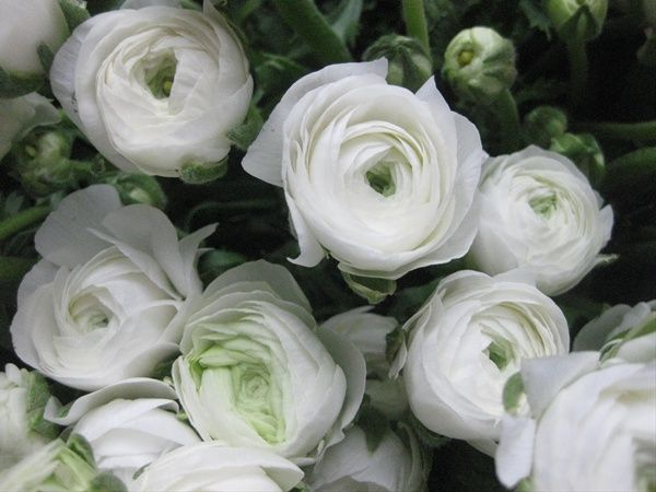White Shades Ranunculus Flowers And Fillers Flowers By