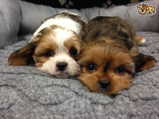 Cavalier X Shih Tzu Puppies For Sale Vet Checked Puppies Shih