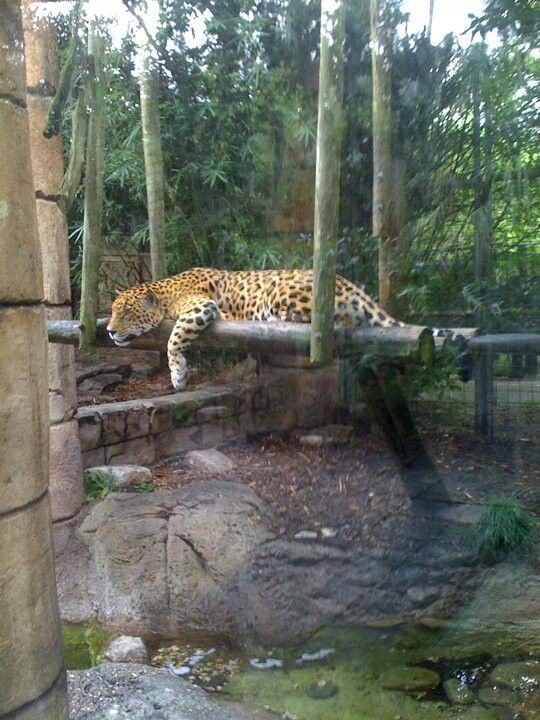 Jaguar Jungle At Audubon Zoo