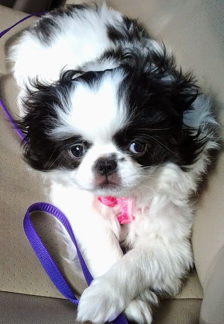 Totally Adorable Little Japanese Chin Dog With Images Japanese