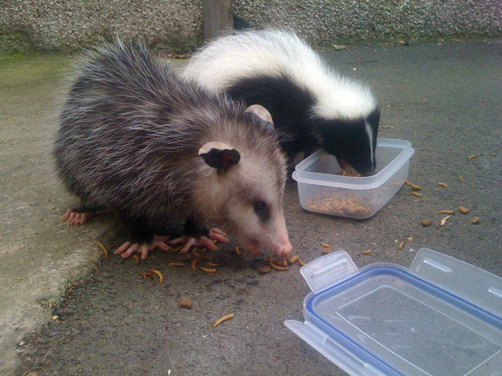 Pin By Jerry Obrien On Opossums Baby Possum Animals Beautiful Pets
