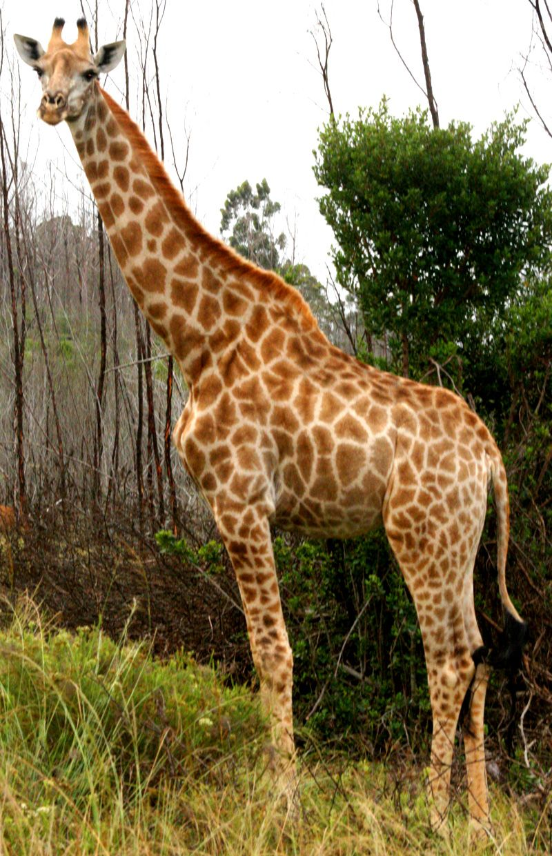 Giraffe Jpg 800 1 241 Pixels Giraffe Baby Giraffe Animals