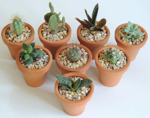 Recuerdos De Bautizo Con Cactus.Recuerdos Bautizo Plantas Suculentas Cactus Miniatura