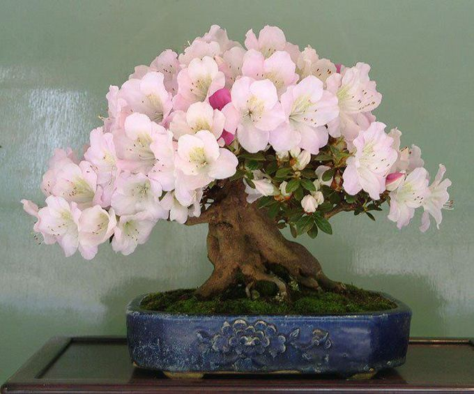 Beautiful Pink Blooming Bonsai