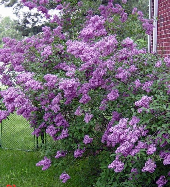 Lilacs In Bloom Lilac Tree Lilac Gardening Dream Garden