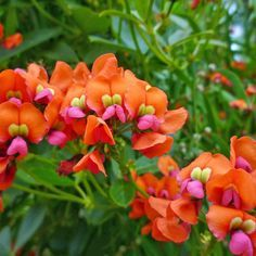 tropical vines shades of orange - Google Search Coral Creeper, Creeper Kennedia, Garden Ideas, 20 Flowers, Vines Climbing Plants, Coral Orange Pink, Showy Climbing
