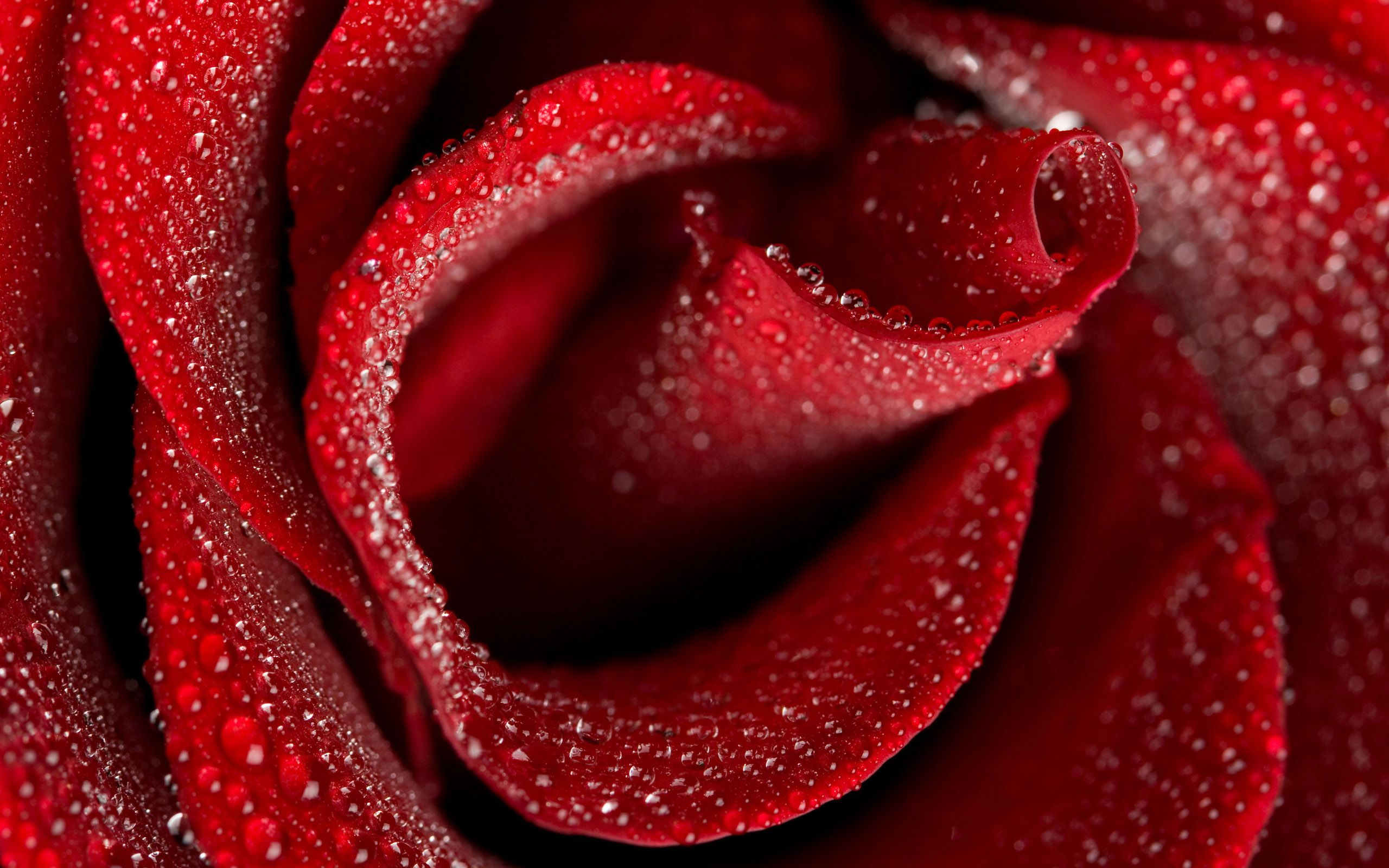 Hd wallpaper rose - Rose Flower Hd Wallpapers Download Wallpaper Pinterest Hd Wallpaper Wallpaper And Wallpaper Backgrounds