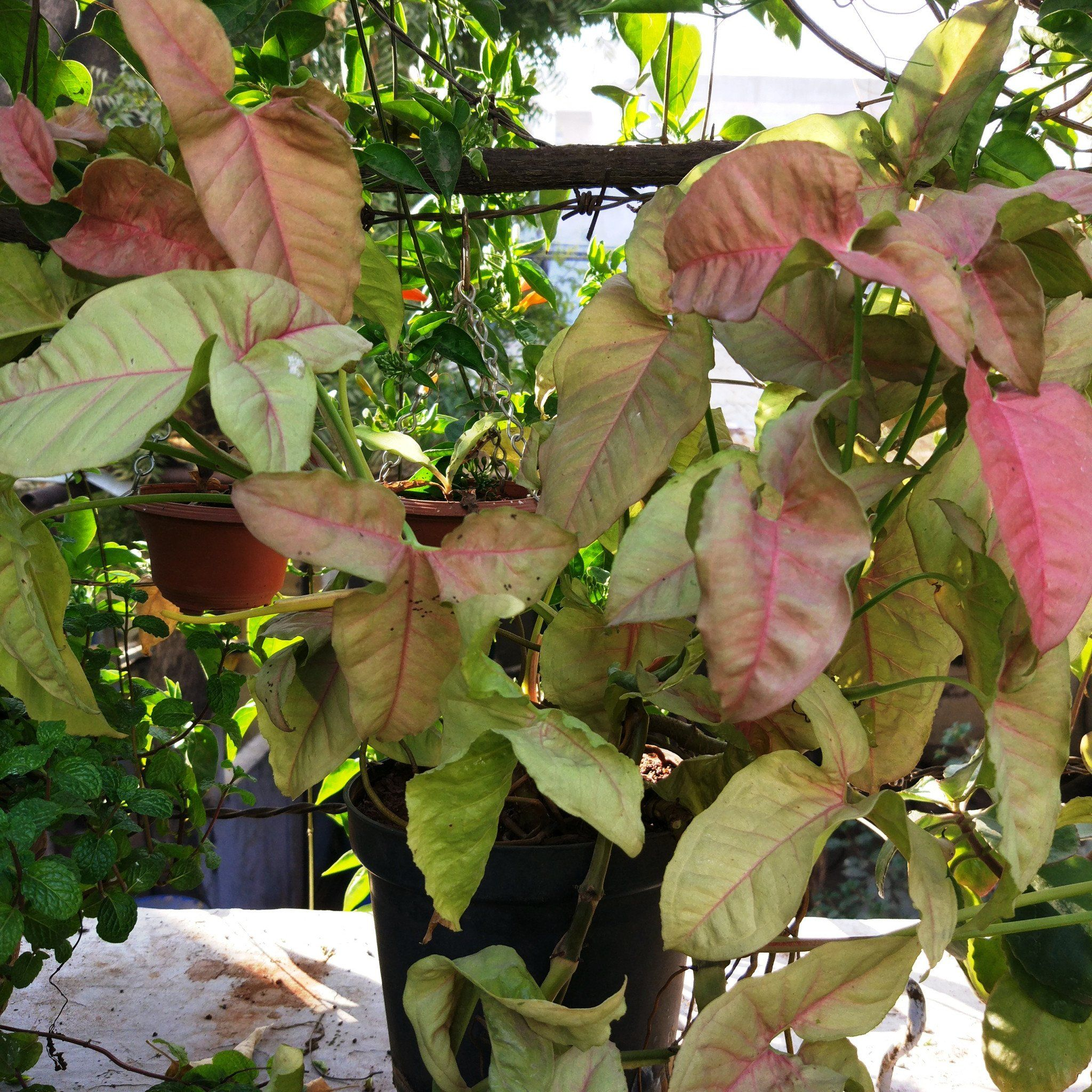 Syngonium Nepthytis Arrowhead Vine Pink Allusion Creeping Climbing Bright Indirect Light Let Soil Potted Plants Outdoor Plants Fertilizer For Plants