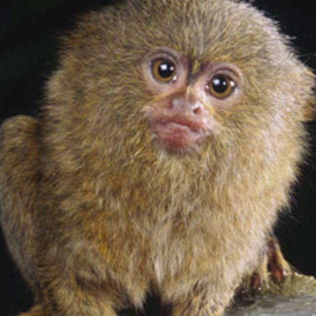Pin Von Cindy Burge Auf Stange Weird Unusual Creatues Kleiner Affe Zwergseidenaffchen Schimpanse