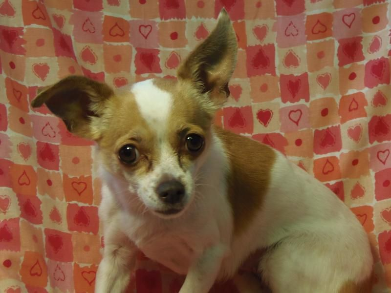 Adopt Pending Ellie On Animals Chihuahua Dogs Skye Terrier