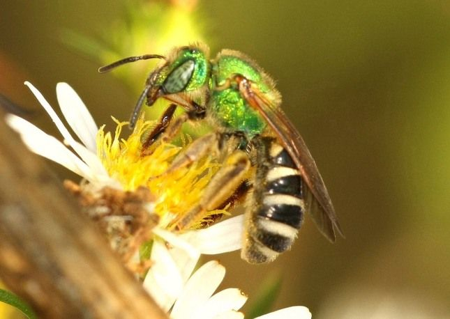 Do You Know That Sweat Bees Sting And How To Get Rid Of ...