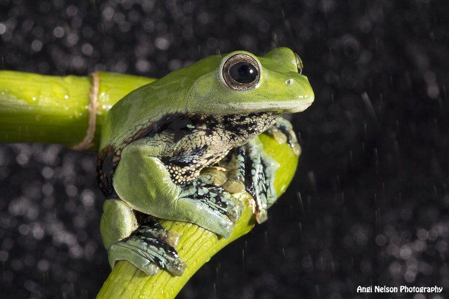 Norhayati's Gliding Frog in rain by AngiWallace on deviantART