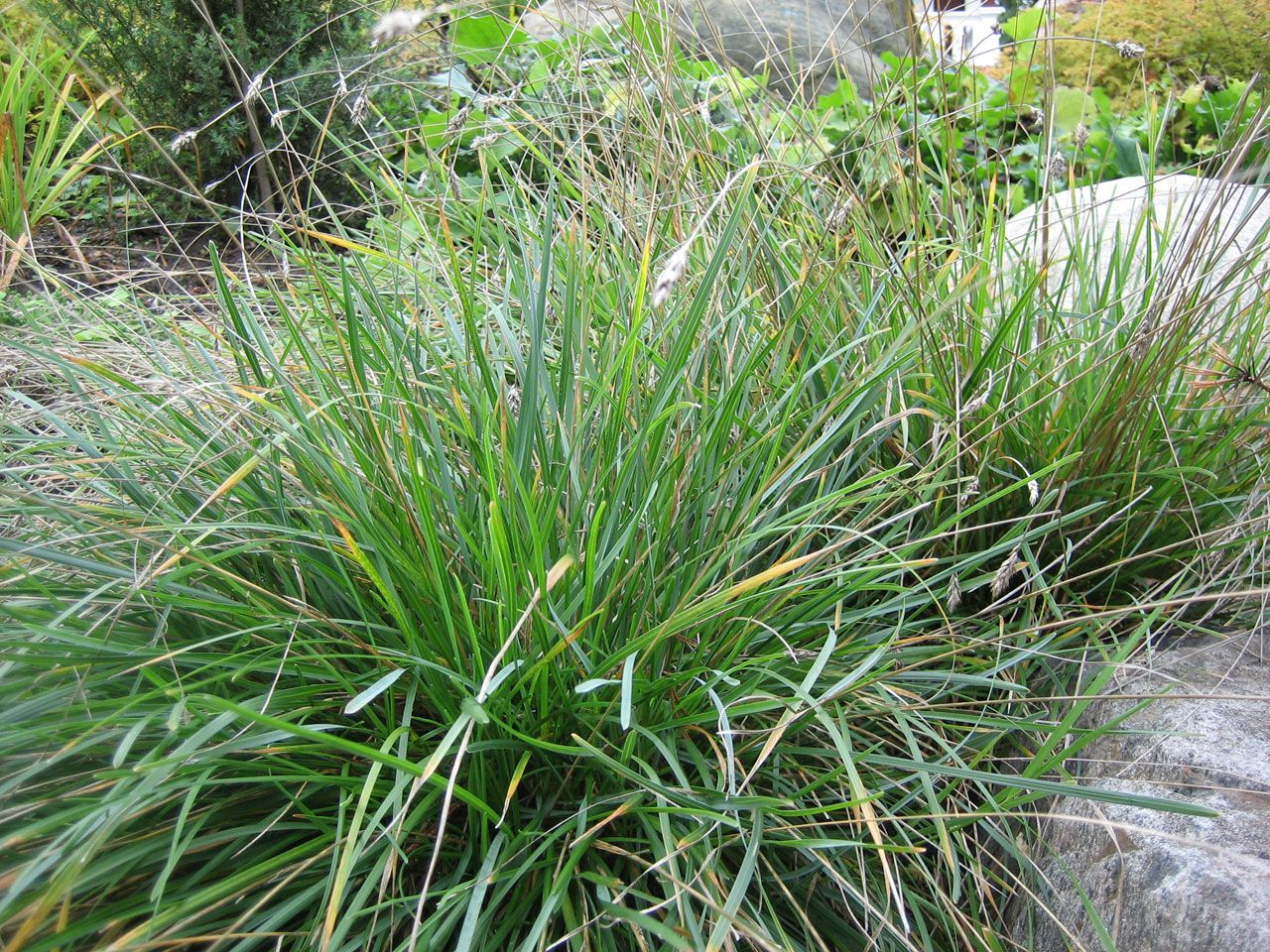 Picture of Live Blue Moor Grass aka Sesleria caerulea Grass Plant Fit 1 Gallon Pot