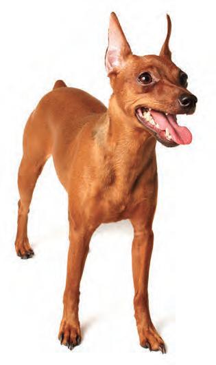 The High Stepping Miniature Pinscher In 2020 Miniature Pinscher Dog Dog Breeds Miniature Pinscher