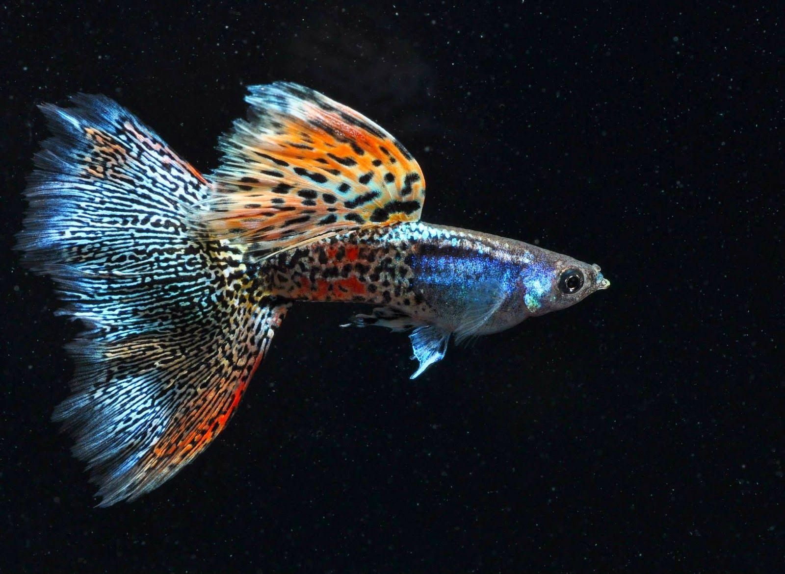 Fancy Guppy Information Aquatic Mag Betta Fish Types Guppy Betta Fish