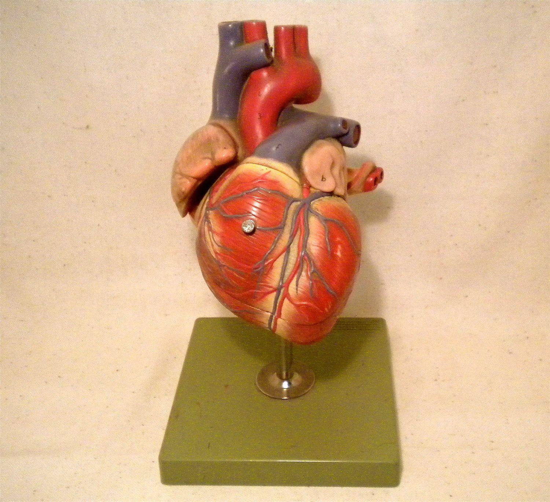 Vintage Anatomical Heart Human Model SOMSO Anatomy Pharmaceutical ...