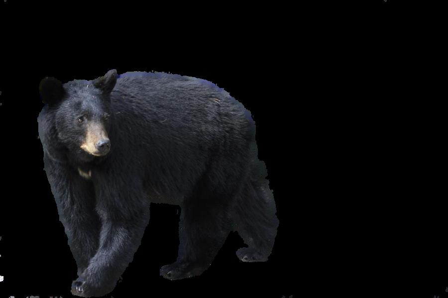 Bear Png Black Bear Bear Clipart Bear