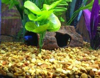 African Dwarf Frog Habitat Dwarf Frogs Frog Habitat Pet Fish