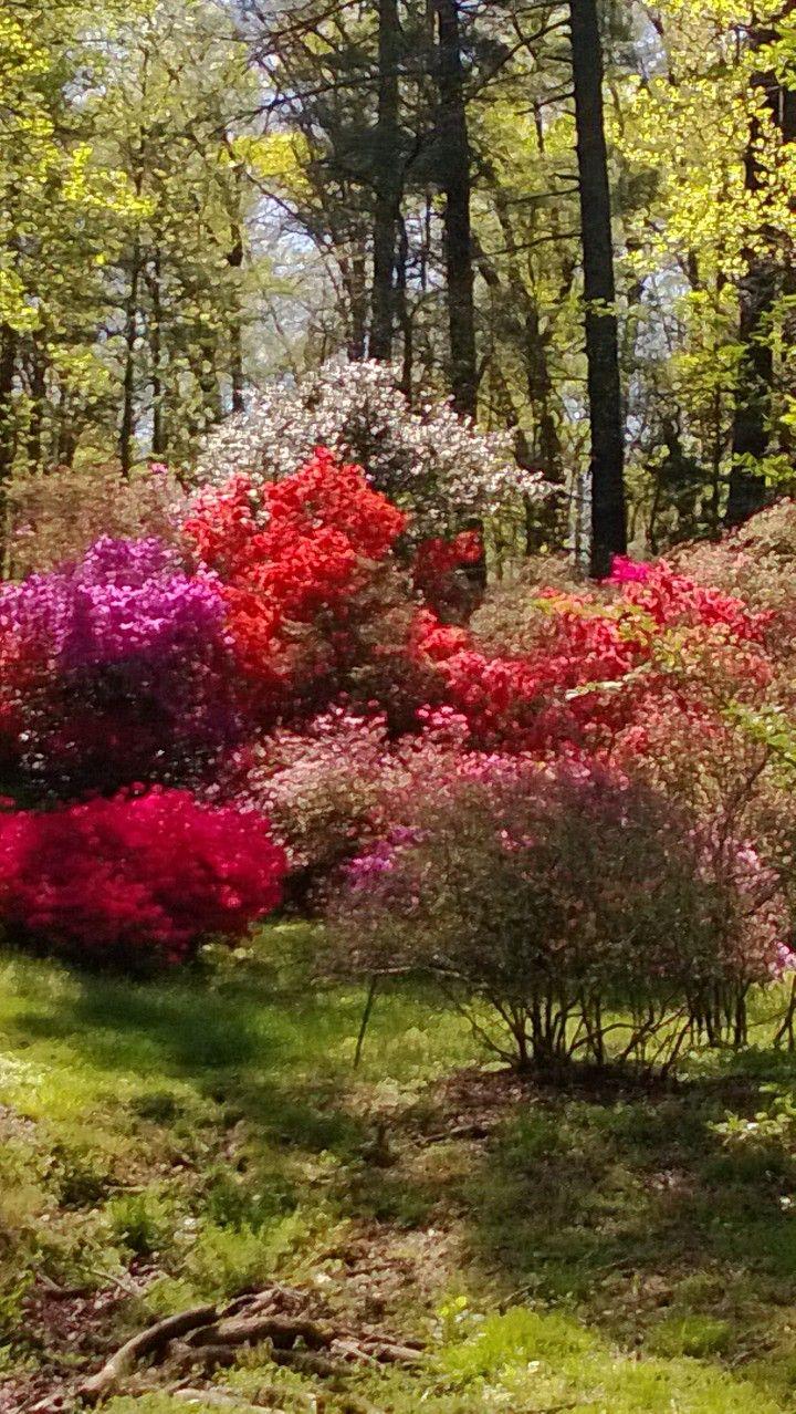 Azalea garden Azaleas garden, Greenhouse gardening