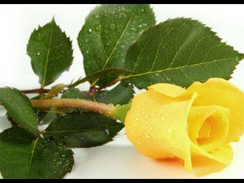 Robi Sárga rózsa YouTube Sárga rózsák, Virágok és Sárga