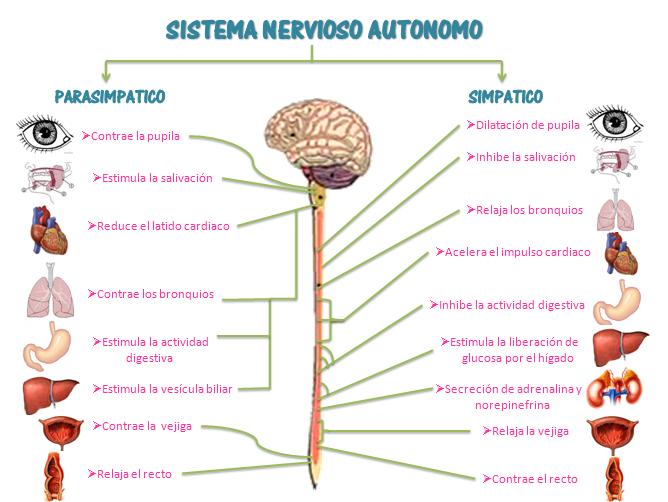 Sistema nervioso autónomo. Entrada \