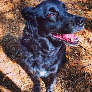 Pet Owner(s): Jessica Hecker Pet: DeeBo (Flat Coat Retriever Mix)