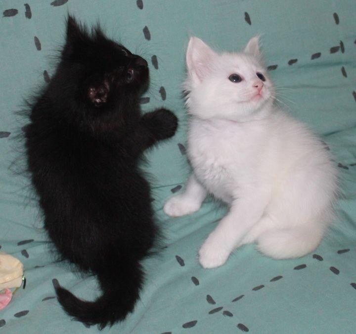 4e215b55d7 Black   White Turkish Angora Kittens!