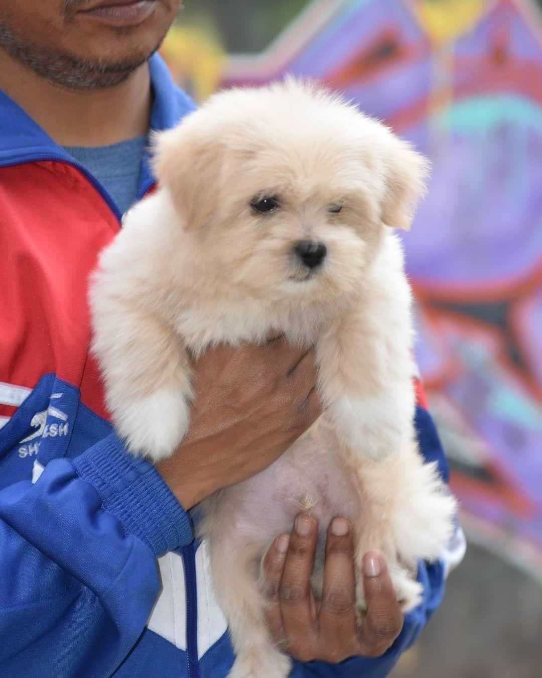 Lhasa Apso Puppy Delhi In 2020 Lhasa Apso Puppies Lhasa Apso Puppies