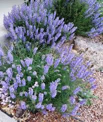 Image Result For Salvia Pachyphylla Blue Flame