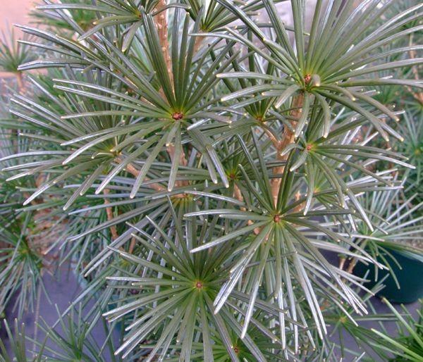 Sciadopitys Verticillata Wintergreen Japanese Umbrella Pine