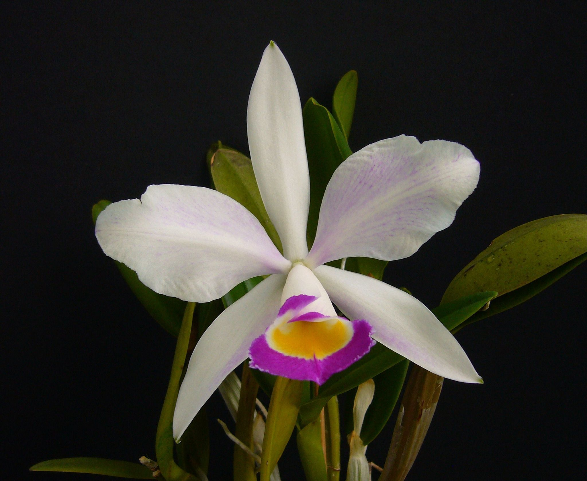 Cattleya × brymeriana var. semi-alba - Flickr - Photo Sharing!