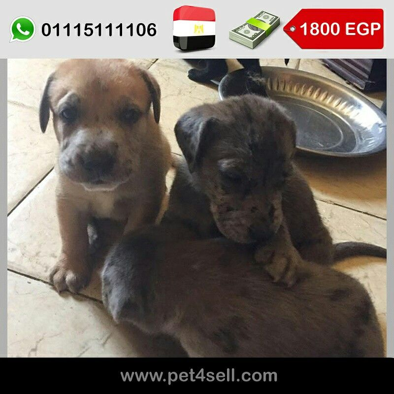 Egypt Cairo Scoopy Doo Puppies 2 Beige Males With 40 Days Old Great Shepherd Scoopy Doo More Details Are Mentioned On Th Puppies Labrador Retriever Dogs