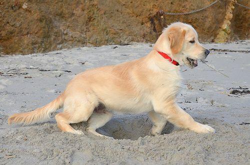 Digging So Funny Orange Kittens Dogs Golden Retriever Dog