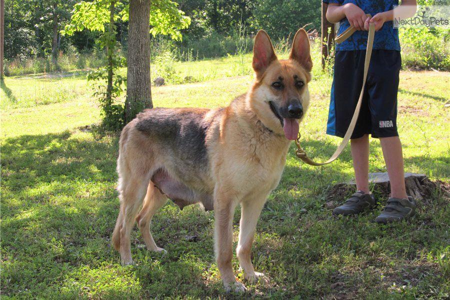 Deuces German Shepherd Puppy For Sale Near St Louis Missouri