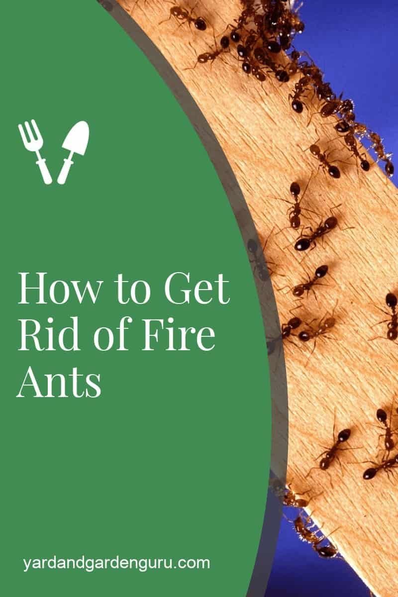 How To Get Rid Of Red Ants In 2020 Fire Ants Kill Fire Ants Ants In Garden