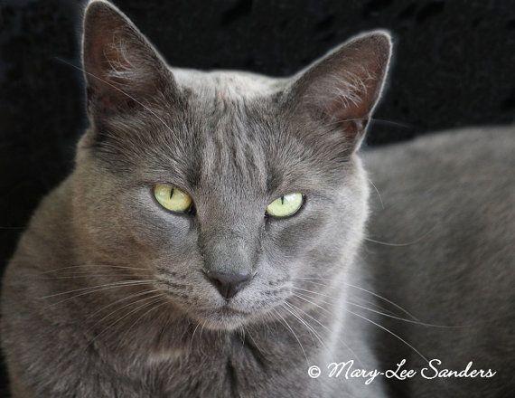 Russian Blue Cat Fineart Photography Ready For Any Home Decor Or Cat Lover Russische Blaue Katzchen Blaue Katzen Katzenliebhaber