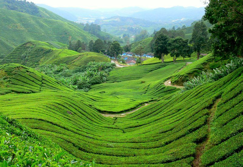 Tea Plantations, Kerala, India! Cameron highlands