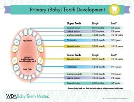 Eruption Chart  Teething    Babies