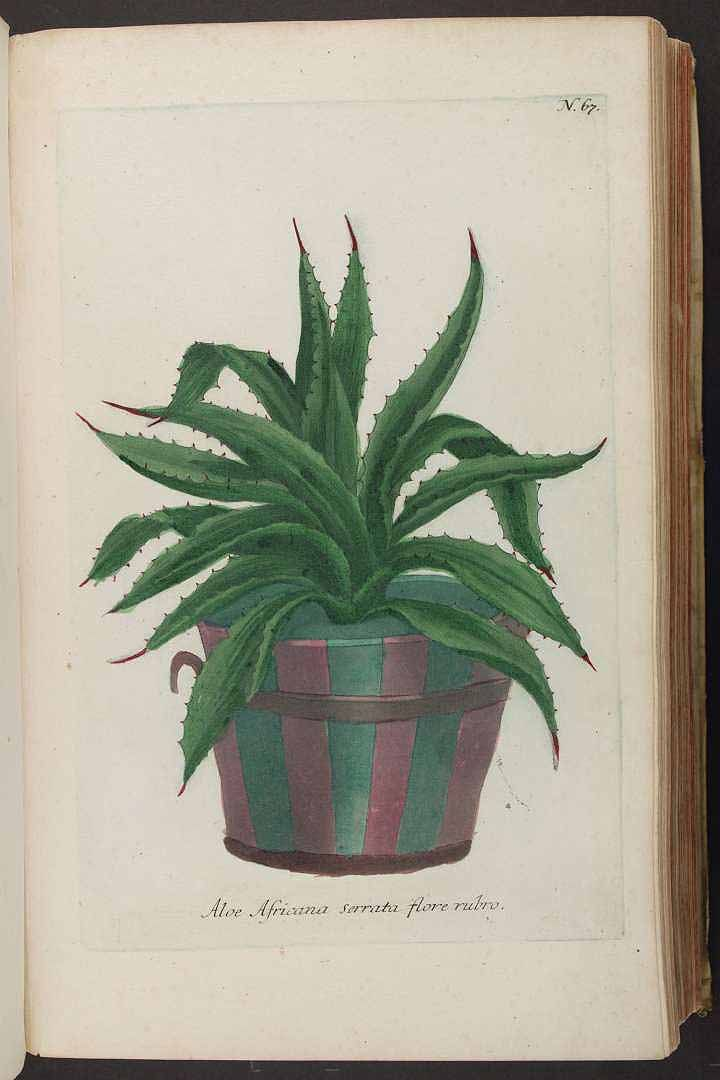 126066 1241-67-- Aloe [as Aloe africana serrata flore rubro] / Weinmann, Johann Wilhelm, Phytanthoza iconographia, vol. 1: t. 67 (1737)
