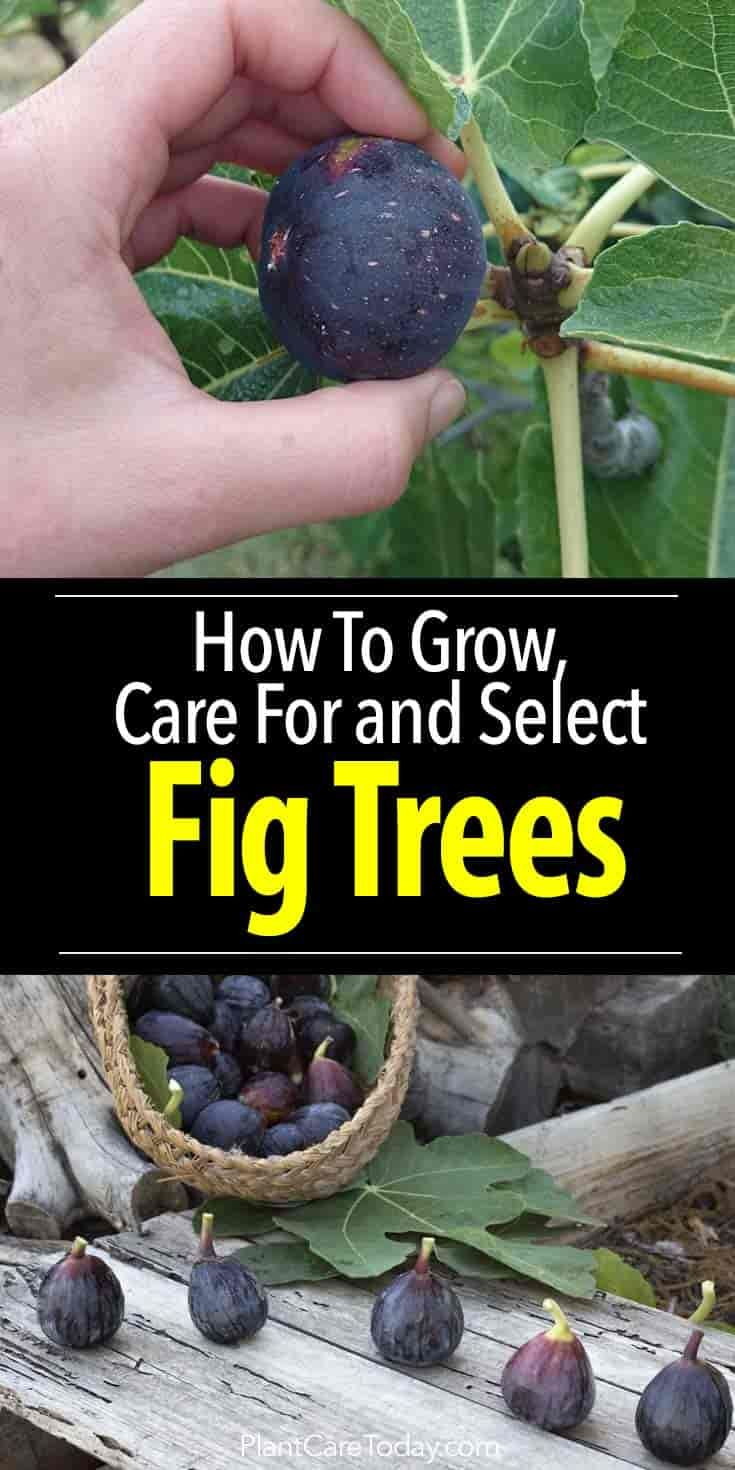 Fig Tree Care How To Grow Trees In