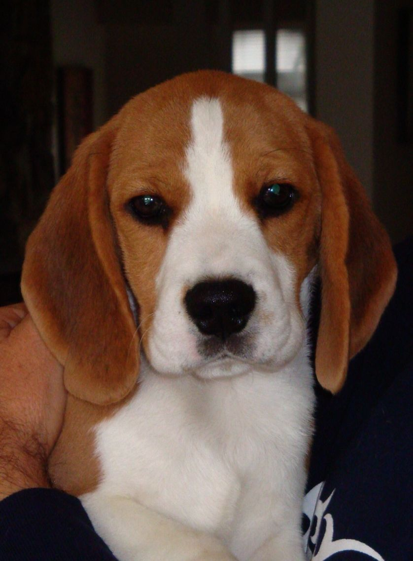 New baby (With images) | Beagle puppy, Pocket beagle ...